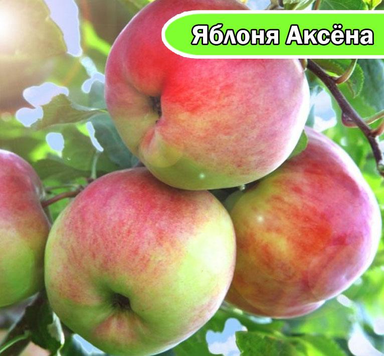 Яблоня Аксена