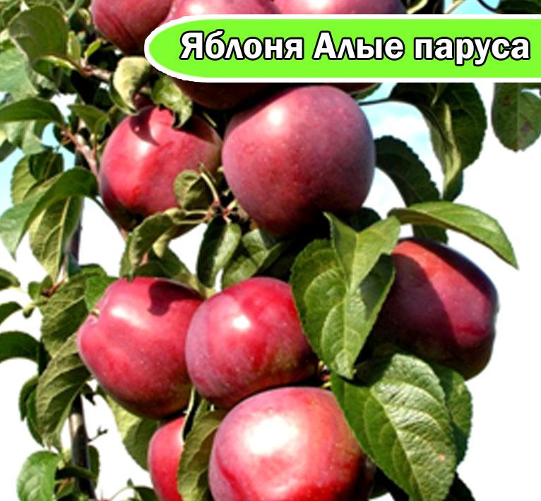 Колонновидная яблоня Алые паруса