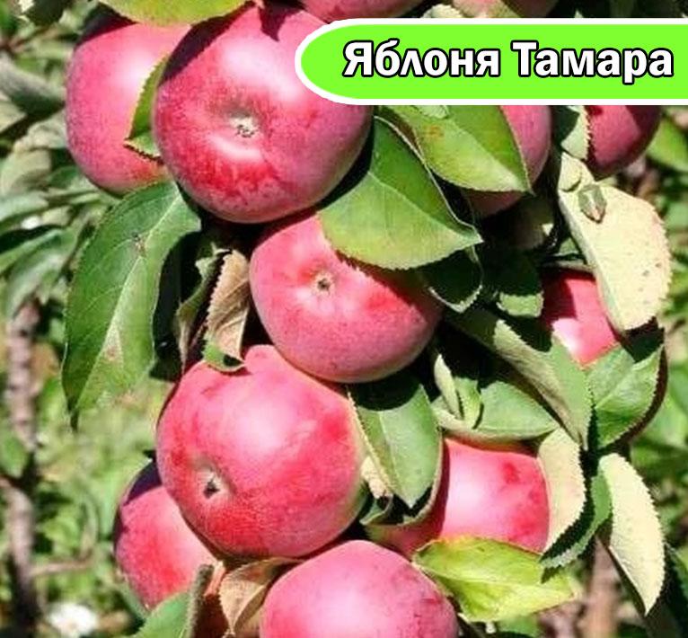 Яблоня колонновидная Тамара